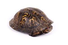 背景龟盒白色 免版税图库摄影