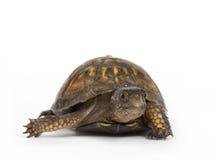 背景龟盒白色 免版税库存图片