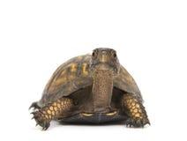背景龟盒白色 库存图片