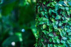 背景,一片热带叶子的纹理 热带,异乎寻常的植物 免版税库存图片
