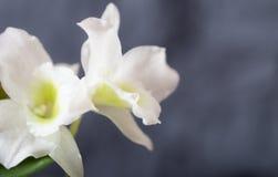 背景-一朵兰花的白花在一灰色蓝色backgroun的 库存照片