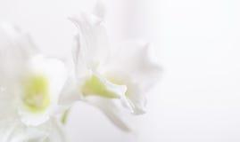 背景-一朵兰花的白花在白色背景的 图库摄影
