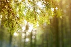 背景 分行接近的杉树 库存照片