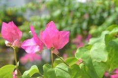 背景025刷新的新桃红色开花图象 库存图片