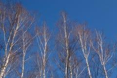背景贝加尔湖桦树湖结构树 免版税库存图片