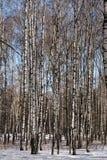背景贝加尔湖桦树湖结构树 免版税库存照片