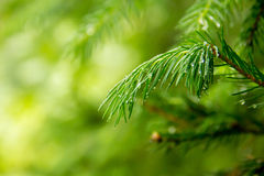 背景贝加尔湖湖杉树 库存图片