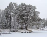 背景贝加尔湖湖杉树 免版税库存照片