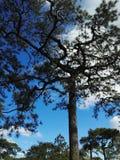 背景贝加尔湖湖杉树 免版税库存图片