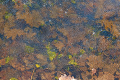 背景 在冰的橡木叶子 免版税库存图片
