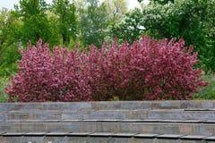 背景 开花的苹果树Nedzewski在公园 图库摄影