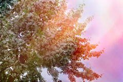 背景 开花的洋梨树 库存照片