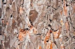 背景-杉木吠声 免版税库存照片