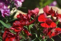 背景002 -特写镜头射击了开花的红色花 库存照片