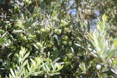 背景 绿橄榄树用在分支的果子 库存照片