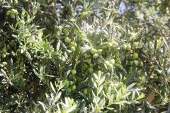 背景 绿橄榄树用在分支的果子 免版税图库摄影