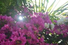 背景036 -美妙地生长高树,并且太阳通过与桃红色花的顶面高树股票图象看 免版税库存照片