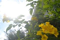 背景026美妙地生长高树,并且太阳通过与黄色花的顶面高树股票图象看 库存图片