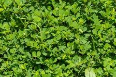 背景绿色叶子本质 皇族释放例证