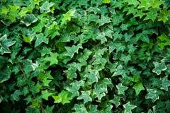 背景绿色叶子纹理 免版税图库摄影