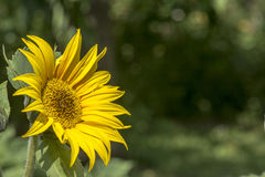 背景绿色向日葵 免版税库存照片