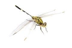 背景黑色塞西莉亚蜻蜓绿色ophiogomphus snaketail 在一白色backg的绿色Snaketail蜻蜓 免版税图库摄影