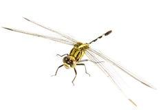 背景黑色塞西莉亚蜻蜓绿色ophiogomphus snaketail 在一白色backg的绿色Snaketail蜻蜓 库存图片