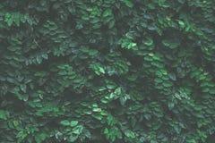 背景绿色常春藤 免版税库存照片