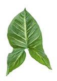 背景绿色查出的叶子白色 库存照片