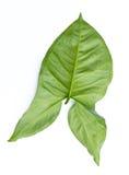 背景绿色查出的叶子白色 图库摄影