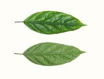 背景绿色查出的叶子白色 免版税库存照片