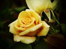 背景黑黄色玫瑰 免版税库存图片