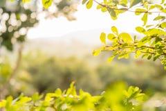 背景绿色自然叶子树 免版税库存照片