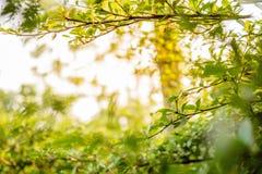 背景绿色自然叶子树 免版税库存图片