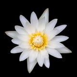 背景黑色莲花花粉空白黄色 库存图片