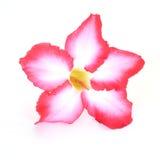 背景细部图花卉向量 关闭热带花桃红色Adenium 沙漠在被隔绝的白色上升了 免版税图库摄影