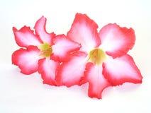 背景细部图花卉向量 关闭热带花桃红色Adenium 沙漠在被隔绝的白色上升了 免版税库存照片