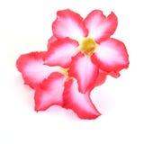 背景细部图花卉向量 关闭热带花桃红色Adenium 沙漠在被隔绝的白色上升了 图库摄影