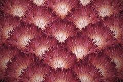 背景细部图花卉向量 红橙色蓬松菊花花束  背景构成旋花植物空白花的郁金香 图库摄影