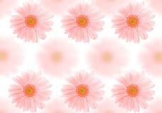背景barberton雏菊 库存图片