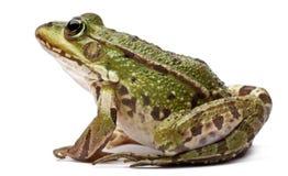 背景bufo公用可食的esculenta欧洲饰面青蛙前面kl蛙属蟾蜍白色 esculenta 图库摄影