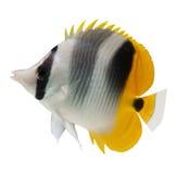 背景butterflyfish鱼礁石白色 图库摄影