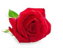 背景dof绿色隔离留给红色玫瑰浅白色 免版税库存照片