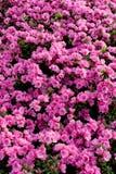 背景hododendrons粉红色 库存照片