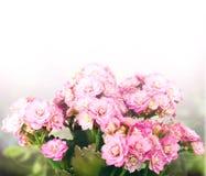 背景kalanchoe粉红色 免版税图库摄影