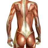 背部女性肌肉 库存图片