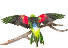 背面图红翼的鹦鹉(Aprosmictus erythropterus) 查出 免版税图库摄影