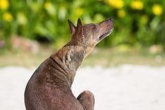 仅背面图Ridgeback一只小狗在沙子光滑的潮湿的监督的  库存图片
