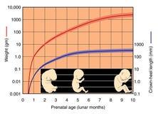 胎儿图表的发展 库存图片