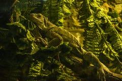 胎生的蜥蜴 库存图片